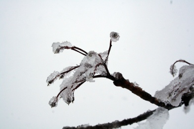 Sleet covered twig